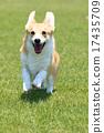 威爾士矮腳狗 動物 狗狗 17435709