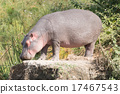Hippopotamus with eyes closed stands on rock 17467543
