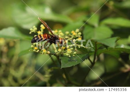 생물 곤충 히메 말벌 수컷입니다. 더듬이가 긴 엉덩이가 뾰족하지 않은 것을 구분할 수 있습니다 17495356