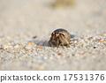 Hermit crab on sand beach, Phuket, Thailand 17531376