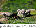 Group of sheep on grass field, Northern India 17531429