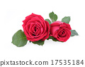 red rose isolated on white background 17535184
