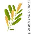 Yellow Ringworm Bush Flower or Senna Alata Flower 17536461