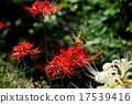 licorice, higan (japanese buddhist holiday), red spider lily 17539416