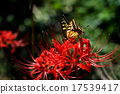 licorice, higan (japanese buddhist holiday), red spider lily 17539417