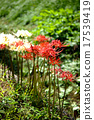 licorice, higan (japanese buddhist holiday), red spider lily 17539419