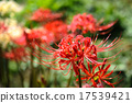 licorice, higan (japanese buddhist holiday), red spider lily 17539421