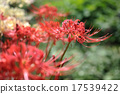 licorice, higan (japanese buddhist holiday), red spider lily 17539422