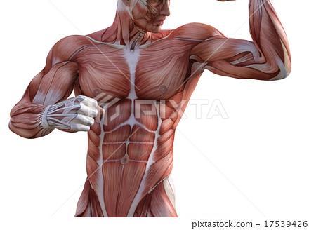 插圖素材: 肌肉 健美運動者 肌肉發達