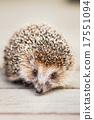 Small Funny Hedgehog On Wooden Floor 17551094