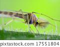 riparius culicidae culex mosquito 17551804