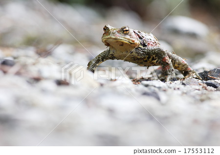 Nagare toad 17553112
