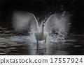 天鵝飛出去 17557924