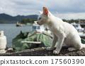 小貓 動物 白貓 17560390