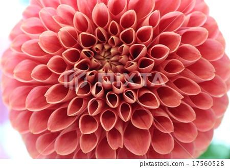Up of red petal-type Dahli's petal 17560528