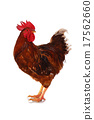live, rooster, white 17562660