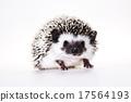 刺猬 野生 动物 17564193
