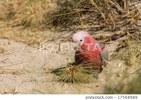australia red and white parrot cacatua portrait 17568989