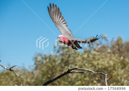 australia red and white parrot cacatua portrait 17568996