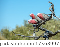 parrot, cacatua, red 17568997