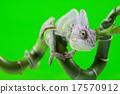 Lizard families, Chameleon 17570912