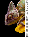 Chameleon, bright vivid exotic climate 17570924