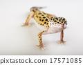 Small gecko reptile lizard, bright colorful  17571085