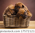 Puppies, wicker basket, beautiful bright pet 17572121