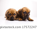 Puppies amstaff,dachshund, beautiful bright pet  17572247