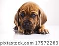 Puppies amstaff,dachshund, beautiful bright pet  17572263