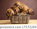 Puppies, wicker basket, beautiful bright pet  17572264