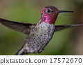 Anna's Hummingbird in Flight 17572670