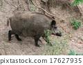 Boar 17627935