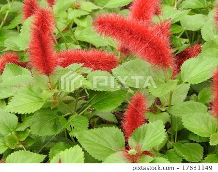 마치 솜털 고양이의 꼬리와 같은 붉은 꽃, 캣 테일. 17631149