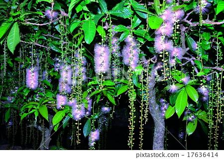 南國的花 玉蕊 西表島 17636414