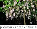 南國的花 玉蕊 西表島 17636418
