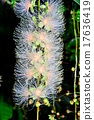 南國的花 玉蕊 西表島 17636419