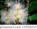 南國的花 玉蕊 西表島 17636420