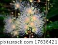 南國的花 玉蕊 西表島 17636421