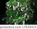 南國的花 玉蕊 西表島 17636425