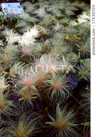 barringtonia, flowers of the southern countries, hidden location 17636505