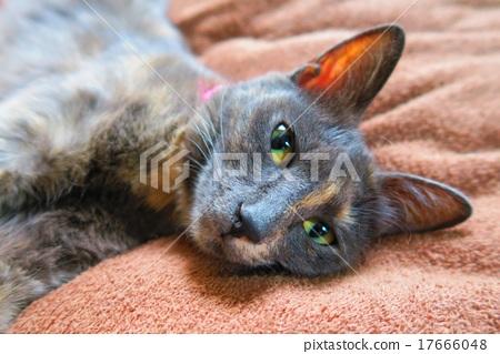 러시안 블루와 비슷한 잡종 고양이 17666048