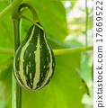 Ornamental gourd or Pumpkin on its tree 17669522