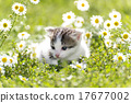 Kitty is on the background field of daisies 17677002