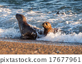 baby newborn sea lion on the beach in Patagonia 17677961