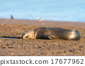 sea lion on the beach in Patagonia 17677962