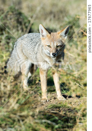 grey fox hunting on the grass 17677965