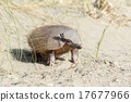 Sud America armadillo close up portrait 17677966