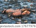 Stromatolites black rocks beach in Shark Bay 17677976