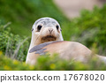 newborn australian sea lion on bush background 17678020